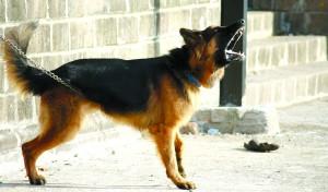 german-shepherd-166972_1280