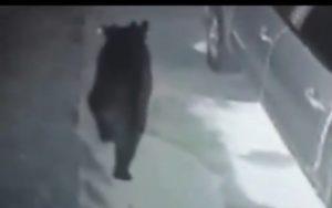 Urso à solta assusta moradores em South Miami-Dade