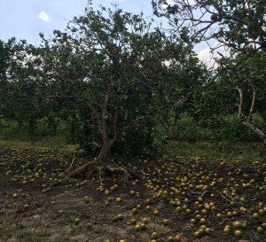 Brasileira perde plantação de laranja com a passagem do furacão