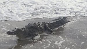 Crocodilo é capturado em praia de Hollywood (FL)