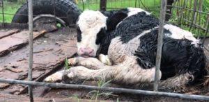 Nova fazenda de vacas leiteiras da FL é acusada de maus-tratos a animais