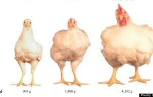 Existem hormônios nos frangos que consumimos?