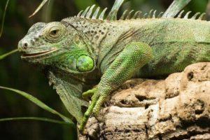 Morador de Júpiter entra em casa e dá de cara com uma iguana