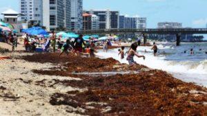 Algas mudam visual de praias do Sul da Flórida