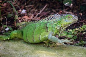 Comunidade em Palm Beach pode dar exemplo em luta contra a invasão das iguanas