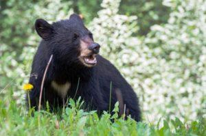 Nove pessoas são presas na Flórida por atrair, prender e violentar ursos negros