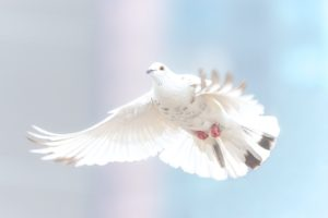 Qual é significado da pomba da paz