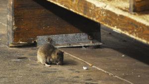 Sul da Flórida está em 20o lugar entre as áreas com mais ratos dos EUA