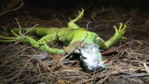 Serviço Nacional de Meteorologia de Miami alerta para queda de iguanas de árvores