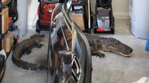 Jacaré de 7 pés entra na garagem de morador em North Port (FL)