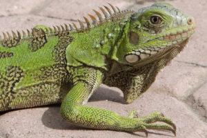 População de iguanas verdes chega ao norte da Flórida