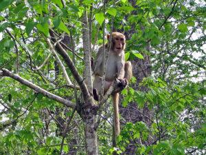 Macacos carregadores de herpes se espalham pela Flórida, diz relatório